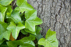 Hedera helix. Plant climbing a big tree royalty free stock images