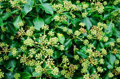 Hedera helix Stock Photography