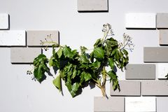 Hedera helix. As a decoration stock images