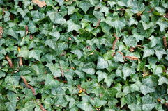 Hedera helix. Growing on a wall royalty free stock image