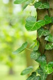 Hedera helix. A hedera helix plant growing on a tree royalty free stock photo