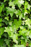Hedera helix Stock Photos