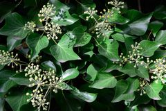 Hedera helix. With bloom, as greening industry stock photos