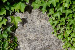 Hedera helix. On a concrete wall Stock Photography