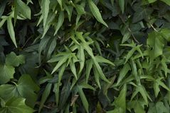 Hedera helix close up. Branches with evergreen leaves of Hedera helix Stock Photo