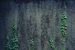 Young shoots of ivy climbing on a wall. Stock Photo