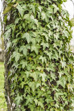 Hedera helix (common ivy, English ivy, European ivy, ivy) Stock Image