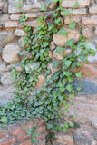 Hedera Helix. Evergreen climbing plant against sturdy wall Stock Images