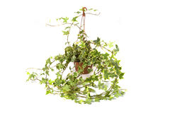 Hedera Helix gemegd Stock Images