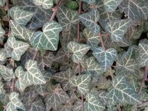 Hedera helix growing on a wall. Hedera helix, the common ivy, English ivy, European ivy, or just ivy, is a species of flowering plant in the family Araliaceae Royalty Free Stock Images