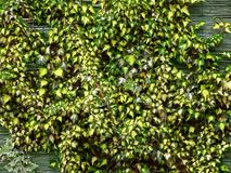 Hedera helix, ivy, a climbing plant grows along the cane stock photography