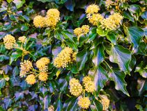 Hedera helix ivy. Climbing Ivy with green shiny leaves and flowers showing in autumn Stock Images
