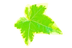 Hedera helix ivy leaf isolated. Poecilophyllous hedera helix ivy leaf isolated on white. Close-up shot Royalty Free Stock Image