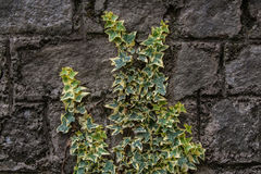 Hedera helix. On a Rock Wall Royalty Free Stock Photography