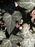 Hedera helix. With spider on the tree Stock Images