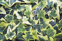 Hedera helix variegata. Background of hedera helix variegata royalty free stock photos