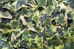 Hedera helix variegata Stock Images