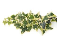 Hedera helix variegata Stock Photo