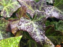 Hedera Helix Vine Leaves with Rain Drops after Rain in December. Stock Photography