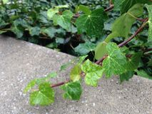 Hedera Helix Vine Leaves with Rain Drops after Rain in December. Royalty Free Stock Photo