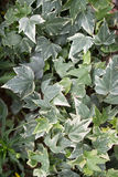 The Hedera helix a vining invasive plant. Hedera helix a vining invasive plant used as an ornamental Royalty Free Stock Image