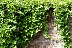 Hedera helix on a wall royalty free stock photo