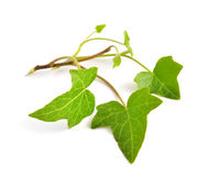 Hedera isolated Royalty Free Stock Photography