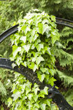 Hedera leavs, commonly called ivy,. Evergreen climbing or ground-creeping woody plants in the family Araliaceae Royalty Free Stock Photo