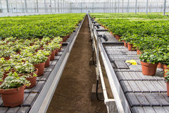 Hedera nursery in a greenhouse Royalty Free Stock Images