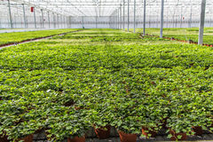Hedera nursery in a greenhouse Stock Photo