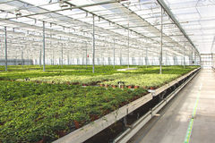 Hedera nursery in a greenhouse Stock Image