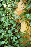 Hedera op bakstenen muur Royalty-vrije Stock Foto's