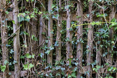 Hedera on the wooden fence Royalty Free Stock Images