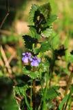 Hederacea del Glechoma Foto de archivo