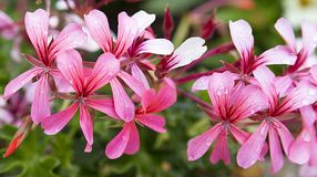 Ivy pelargonium Cascade Pink, pink geranium flowers, macro background stock photos