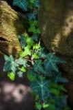 Hederahelix, der gemeine Efeu, der oben einen alten Baum klettert Stockbilder