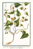 Hederifolia americana dell'ipomoea di Quamoclit Fotografia Stock