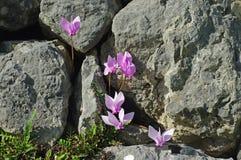 Hederifolium del ciclamen, el ciclamen Hiedra-con hojas o el ciclamen napolitano Fotografía de archivo