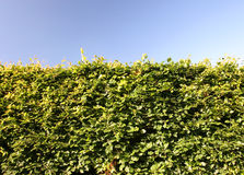 Beech Hedge Green Shrub Barrier Royalty Free Stock Photos