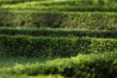 Hedge. Green hedge rows in a park Stock Photo