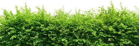 hedge fotografia de stock royalty free