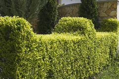 Hedge. Neatly trimmed hedge royalty free stock images
