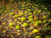Hedge Apples on the Ground Stock Photo