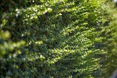 hedge Arbustos sempre-verdes cerca da planta de jardim Fundo imagens de stock royalty free