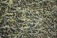 hedge Arbustos sempre-verdes cerca da planta de jardim Fundo fotos de stock