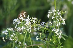 Hedge Bedstraw Royalty Free Stock Photo
