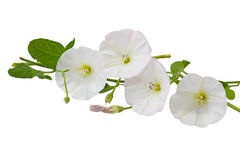 Hedge Bindweed Royalty Free Stock Photos