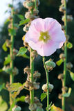 Hedge Bindweed Royalty Free Stock Images