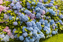 Hedge of blue and pink Hydrangeas. Royalty Free Stock Photography