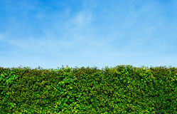 Hedge with blue sky behind Royalty Free Stock Images